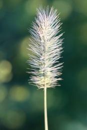 Bristly plant, Gorham, NH