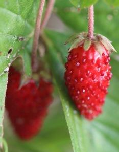 Strawberries, Gorham, NH