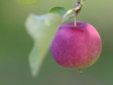 Crab apple, Gorham, NH
