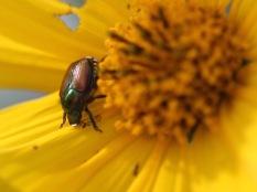 Beetle on flower, Gorham, NH