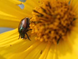 Beetle on flower, Gorham, NH