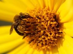 Honeybee, Gorham, NH