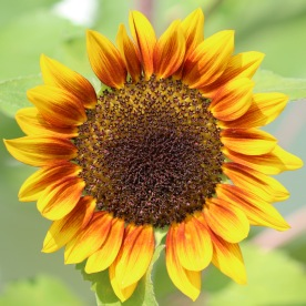 Sunflower, Gorham, NH