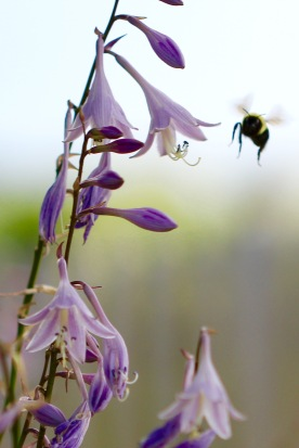 Bumblebee, Gorham, NH