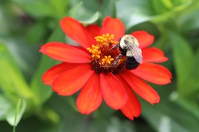 Bumblebee on flower, Gorham, NH