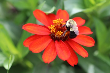 Bumblebee on flower, Gorham, NH