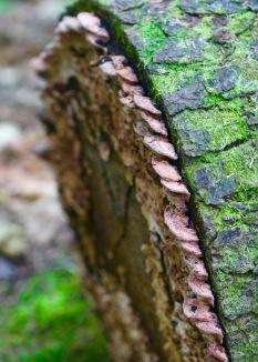 Fungi on cut log, Randolph, NH