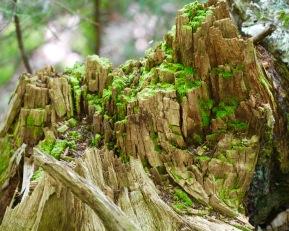 Moss growing on stump, Randolph, NH