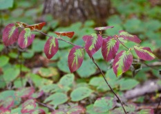Red and green leaves, Randolph, NH