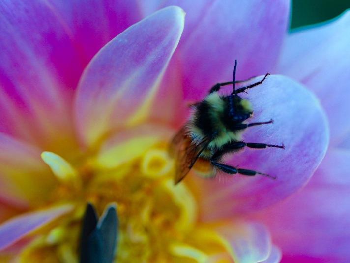 Bee in flower, Pinkham Notch, NH