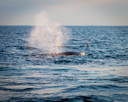 Humpback whale, Cape Cod Bay/Atlantic Ocean, August 2017