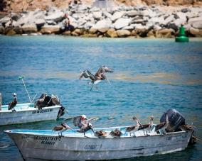 Pelicans, Cabo San Lucas, Mexico, July 2018