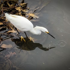Egret, Oakland, Calif., February 2019